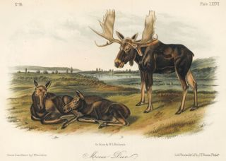 Moose Deer. The Quadrupeds of North America. John James Audubon