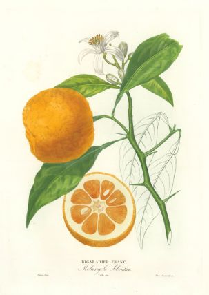 Tab. 30. Bigaradier Franc [Bitter orange or bigarade orange]. Histoire Naturelle des Orangers....