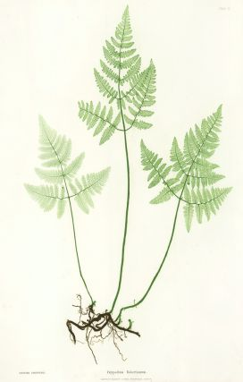 Polypodium Robertianum. Thomas Moore