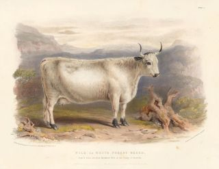 Wild or White Forest Breed. The Breeds of the Domestic Animals of the British Islands. David Low, W. Nicholson.