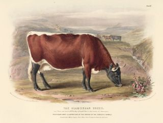 The Glamorgan Breed. The Breeds of the Domestic Animals of the British Islands. David Low, W....