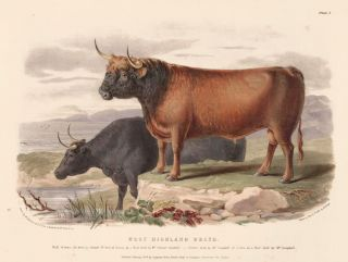The West Highland Breed. The Breeds of the Domestic Animals of the British Islands. David Low, W....