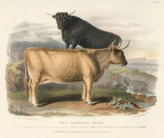 West Highland Breed. The Breeds of the Domestic Animals of the British Islands. David Low, W....