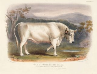 Wild or White Forest Breed. The Breeds of the Domestic Animals of the British Islands. David Low,...