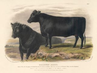 Galloway Breed. The Domestic Animals of the British Islands. David Low, W. Nicholson