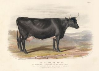 The Fifeshire Breed. The Domestic Animals of the British Islands. David Low, W. Nicholson