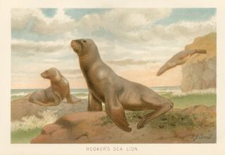 Hooker's Sea Lion. The Royal Natural History. Richard Lydekker