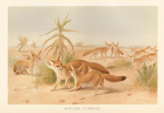 African Fennecs. The Royal Natural History. Richard Lydekker.