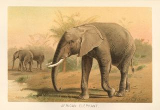 African Elephant. The Royal Natural History. Richard Lydekker