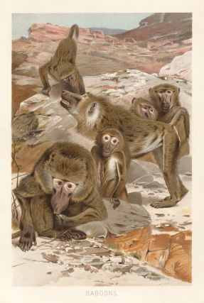 Baboons. The Royal Natural History. Richard Lydekker.