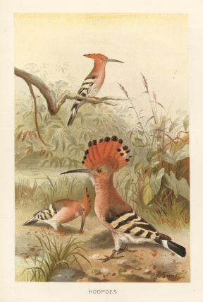 Hoopoes. The Royal Natural History. Richard Lydekker