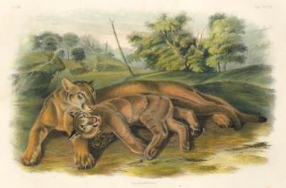 The Cougar. The Quadrupeds of North America. John James Audubon