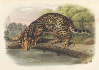 Ocelot or Leopard Cat. The Quadrupeds of North America. John James Audubon