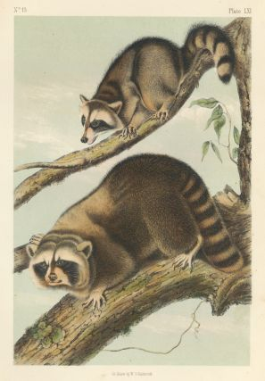 Raccoon. The Quadrupeds of North America. John James Audubon