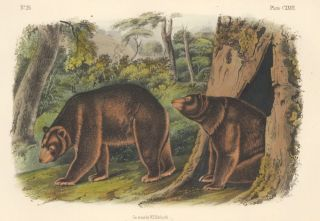 Cinnamon Bear. The Quadrupeds of North America. John James Audubon
