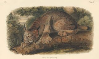 Canada Lynx. The Quadrupeds of North America. John James Audubon