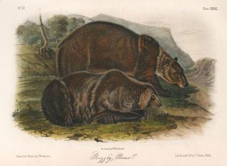 Grizzly Bear. The Quadrupeds of North America. John James Audubon.