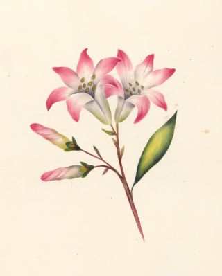 Pink-and-White Lilies. English School