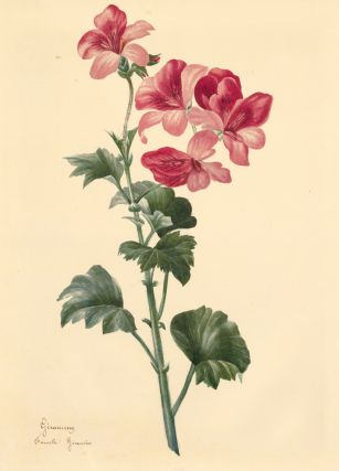 Geranium. French School