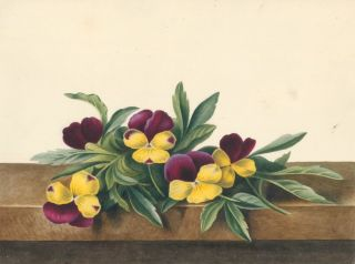 Pansies. English School