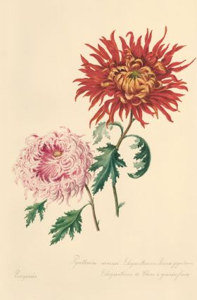 Chrysanthemums. French School