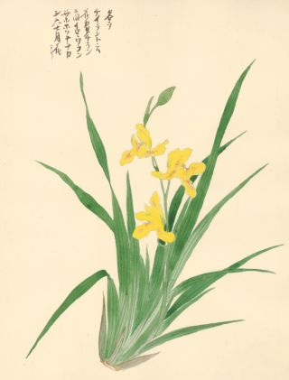Yellow Iris. Japanese School