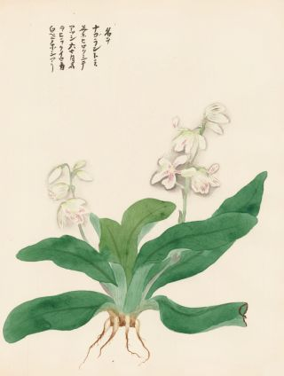 White Lilies. Japanese School