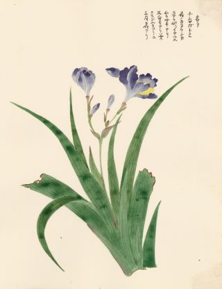 Dark Purple Iris. Japanese School