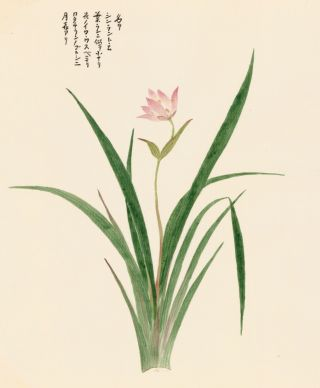 Canna Flower. Japanese School.