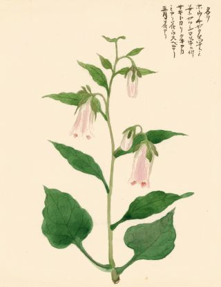 Pink Bellflower. Japanese School