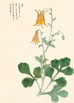 Wild Columbine. Japanese School