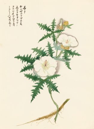 White Hibiscus. Japanese School