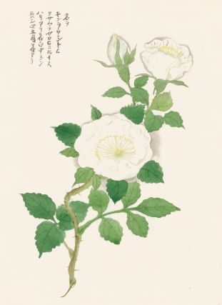 White Wild Rose. Japanese School.