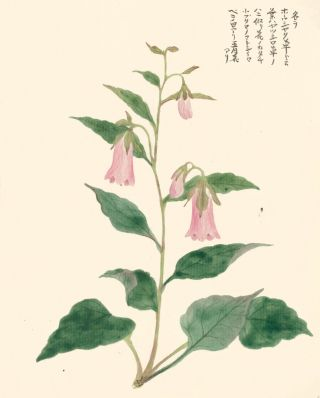 Pink Bellflower. Japanese School.