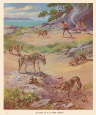 Jackals on a Kitchen Midden. Homes and Habitats of Wild Animals. Walter Alois Weber