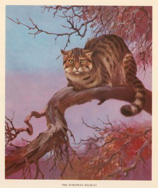 The European Wildcat. Homes and Habitats of Wild Animals. Walter Alois Weber