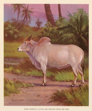 Some Domestic Cattle are Derived from the Zebu. Homes and Habitats of Wild Animals. Walter Alois...