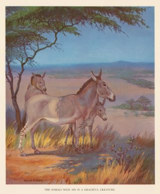 The Somali Wild Ass is a Graceful Creature. Homes and Habitats of Wild Animals. Walter Alois Weber