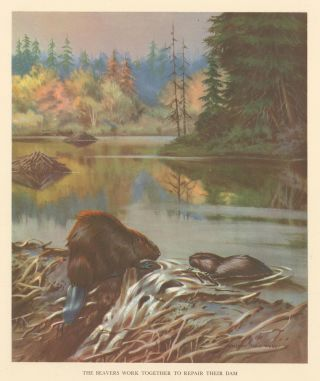 The Beavers Work Together to Repair their Dam. Homes and Habitats of Wild Animals. Walter Alois...