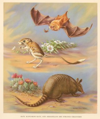 Bats, Kangaroo Rats, and Armadillos are Strange Creatures. Homes and Habitats of Wild Animals. Walter Alois Weber.