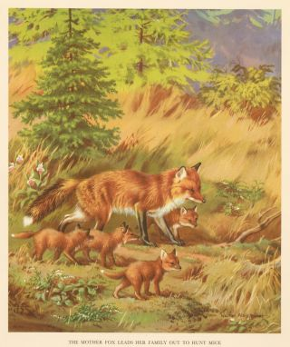 The Mother Fox Leads her Family Out to Hunt Mice. Homes and Habitats of Wild Animals. Walter...
