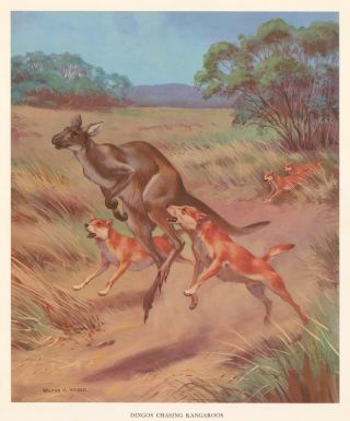 Dingos Chasing Kangaroos. Homes and Habitats of Wild Animals. Walter Alois Weber