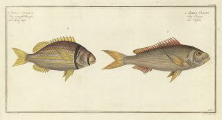 Sparus Vittatus and Sparus Cuning. Ichthyologie, ou Histoire Naturelle, Generale et Particulaire....