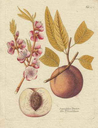 Peach with Blossoms. Icones plantarum medico-oeconomico-technologicarum. Ferdinand Bernhard Vietz