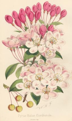 Pyrus Malus floribunda [Japanese Crab Apple]. The Florist and Pomologist: A Pictorial Monthly...