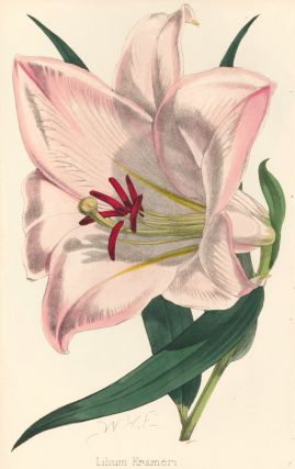 Lilium Krameri [Japanese Lily]. The Florist and Pomologist: A Pictorial Monthly Magazine of...