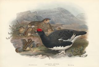 Lagopus mutas, summer plumage [Rock Ptarmigan]. The Birds of Great Britain. John Gould