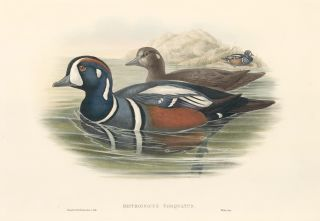 Histrionicus Torquatus [Harlequin Duck]. The Birds of Great Britain. John Gould