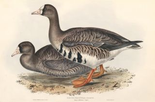 White-Fronted Goose, Anser albifrons. The Birds of Great Britain. John Gould