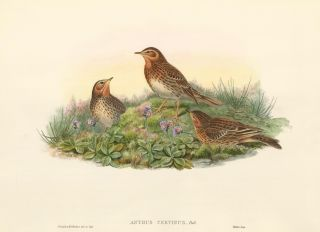 Anthus cervinus [Red-throated pipit]. The Birds of Great Britain. John Gould